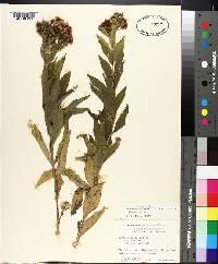 Vernonia baldwinii image