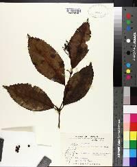 Image of Alyxia insularis