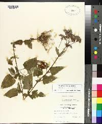 Conoclinium coelestinum image