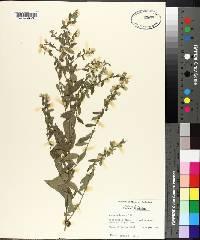 Symphyotrichum pilosum image