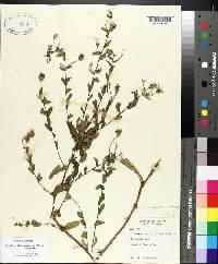 Symphyotrichum patens var. patens image