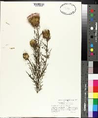 Cirsium carolinianum image