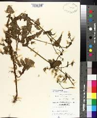 Sonchus oleraceus image