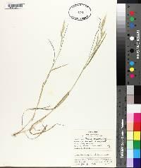 Bromus macrostachys image
