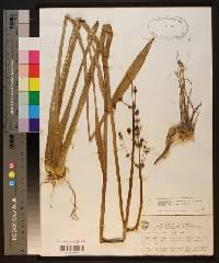 Sagittaria lancifolia image