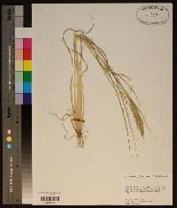 Dinebra panicoides image