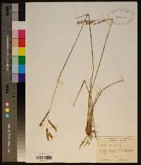 Paspalum plicatulum image