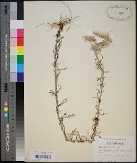 Pseudognaphalium helleri image