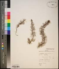 Myriophyllum laxum image