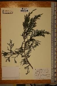 Xanthocyparis nootkatensis image