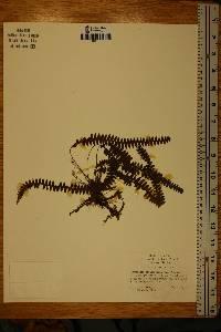 Image of Grammitis asplenifolia