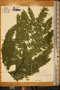 Image of Adiantum polyphyllum