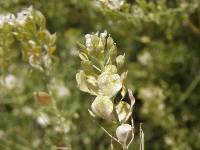Lepidium fremontii image