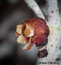 Image of Pilostyles thurberi