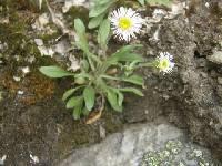 Image of Erigeron caespitosus