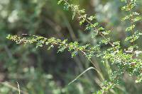 Image of Acacia wrightii