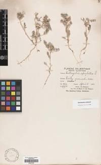 Image of Astragalus epiglottis