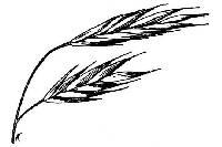 Image of Bromus polyanthus