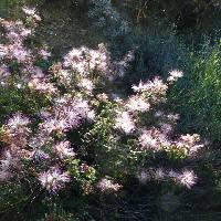 Image of Calliandra eriophylla