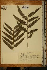 Image of Pteris podophylla