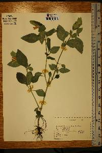 Image of Beloperone guttata