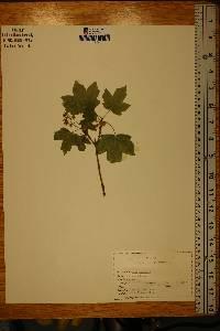 Acer campestre image