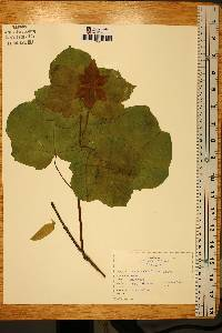 Acer opalus image