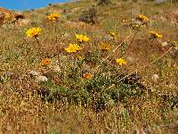 Image of Balsamorhiza hookeri