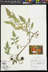 Solanum lycopersicum image