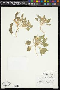 Leucophysalis nana image