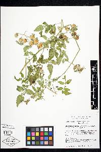 Image of Solanum cheesmaniae
