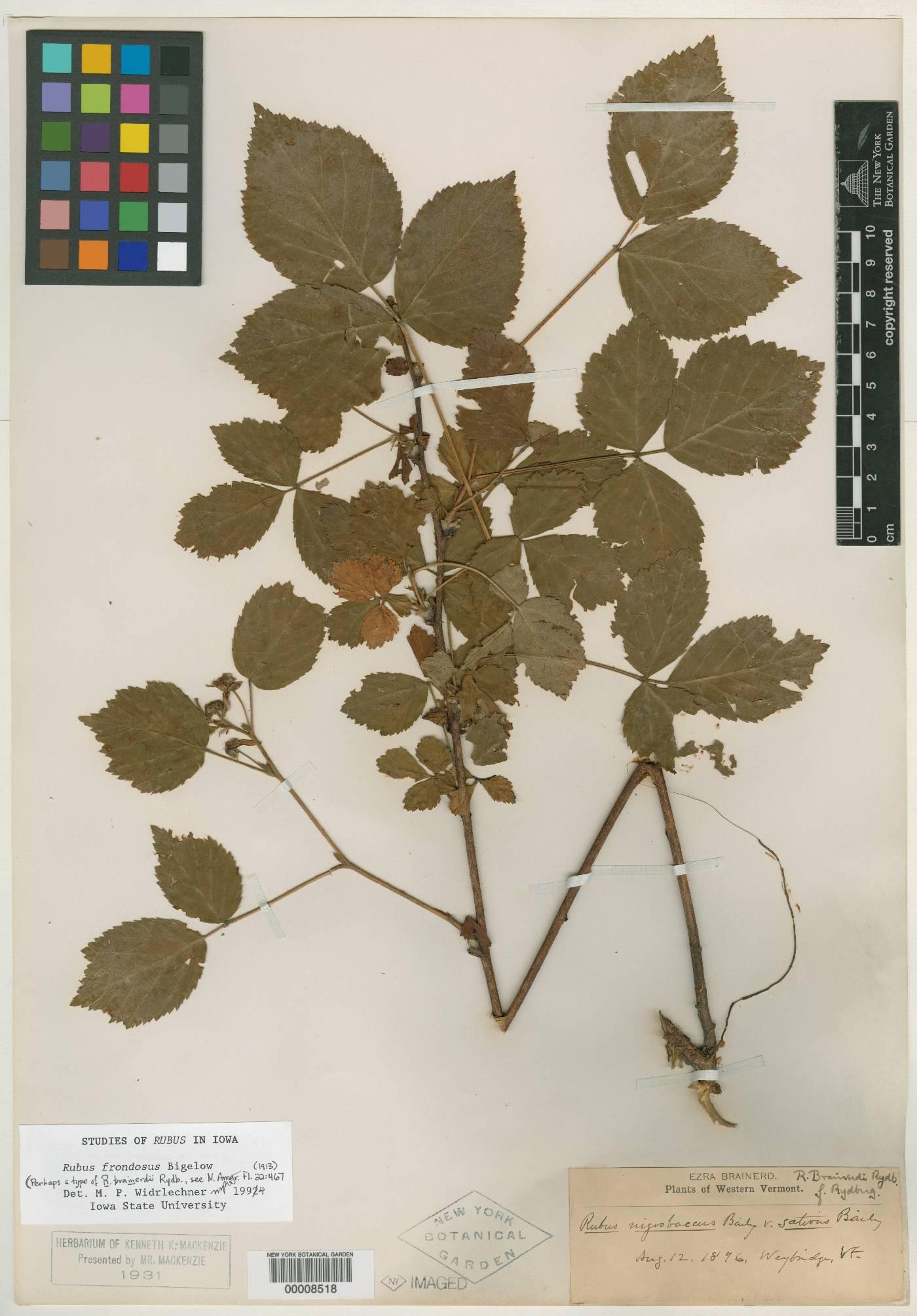 Rubus brainerdii image