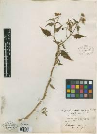 Image of Solanum profundeincisum