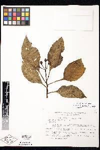 Image of Solanum cobanense