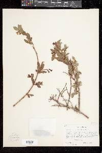 Symphoricarpos oreophilus var. utahensis image