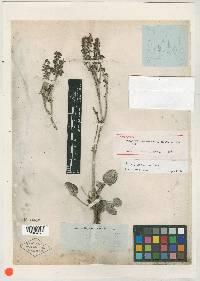 Image of Eriogonum obtusum