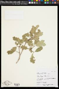 Quercus welshii image