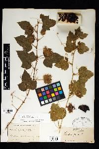Passiflora foetida image