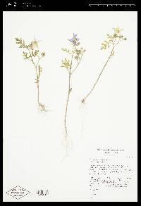 Solanum citrullifolium image