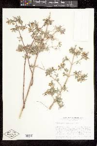 Symphoricarpos longiflorus image