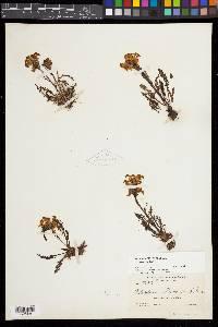 Pedicularis parryi subsp. parryi image