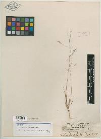 Agrostis oreophila image