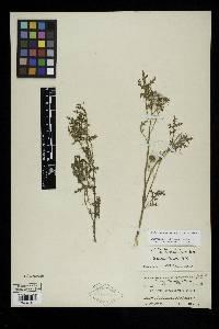 Solanum davisense image