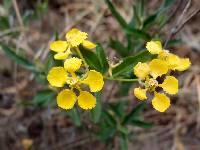 Image of Callaeum macropterum