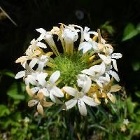 Image of Collomia grandiflora