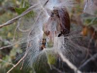 Image of Marsdenia edulis