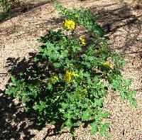 Image of Solanum angustifolium