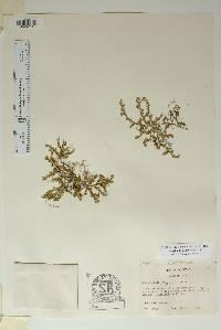 Selaginella arizonica image