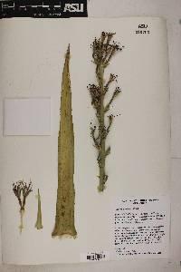 Image of Agave nizandensis