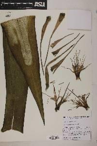 Image of Agave polyacantha